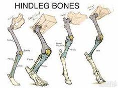 Image result for goat leg anatomy