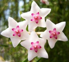 This plant is called a Hoya, they look like little stars:):):)