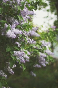 lilacs make me always think of growing up with all the lilacs in our yard.....