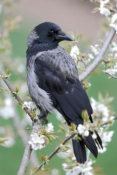the hooded crow (corvus cornix), is a eurasian bird species in the crow genus. found across northern, eastern, and southeastern europe, as well as parts of the middle east.