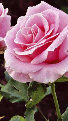 roses, petals, flowers, bud, stem || Beautiful Pink Rose