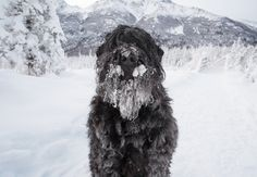 Snow beard — an occupational hazard for black russian terriers in Alaska.