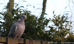 #duif #vogel #dove