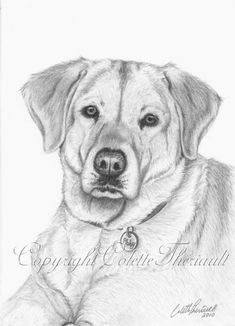 Creature Drawing Wildlife Art and Pet Portraits by Canadian Nature and Animal Artist Colette Theriault: Portrait of yellow Labrador drawing finished? Animal Sketches, Animal Drawings, Art Sketches, Art Drawings, Pencil Drawings, Canadian Nature, Foto Transfer, Dog Coloring Page, You Draw