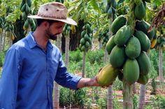 Como plantar mamão. O mamão é uma fruta natural de clima tropical que se adapta muito bem ao Brasil, mas é nativa da África, como fruto do mamoeiro. A sua polpa é alaranjada e de textura mole e a fruta tem um sabor doce ...