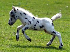 Mini horse baby, wish I knew where this pic was from. I LOVE spotted minis
