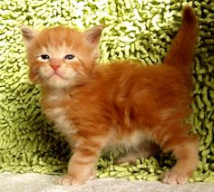 What a lovely Maine Coon kitty!