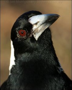 "Photo of adult male Australian Magpie of nominate race tibicens - ""Black-backed Magpie"". Bird Identification, What Is A Bird, Australian Animals, Bird Sculpture, Fauna, Magpie, Bird Art, Beautiful Birds, Beautiful Creatures"