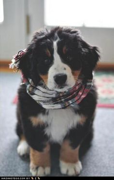 Do you think a Bernese Mountain Dog would qualify as a compromise between the type of dog I want (Newfoundland) and the type of dog Daniel wants (Labrador)?