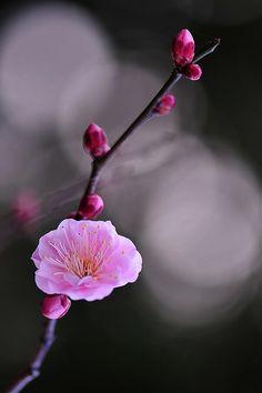 fiori di ciliegio.....