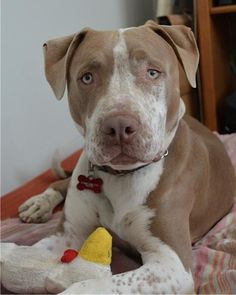 Meet Rudy, an adoptable Pit Bull Terrier looking for a forever home. If you're looking for a new pet to adopt or want information on how to get involved with adoptable pets, Petfinder.com is a great resource.