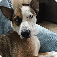 Pictures of Queenie a Husky/Shepherd (Unknown Type) Mix for adoption in New York, NY who needs a loving home.