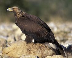Golden Eagle can be found at   City of Rocks State Park, which is part of the SW NM Birding Trail