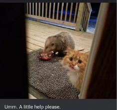 The Adorable Story of a Possum Stealing a Confused Cat's Food