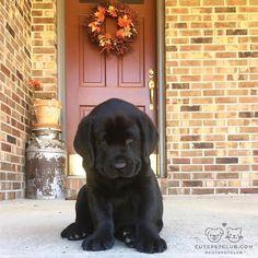 From @sybbiegrace: Hi friends my name is Sybil Grace Whitaker. Im an 8 week old English Labrador in Somerset Kentucky. Watch me grow! #cutepetclub [source: http://ift.tt/2hwDtL6 ]