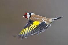 European Goldfinch Facts, Temperament As Pets, Care, Pictures ...