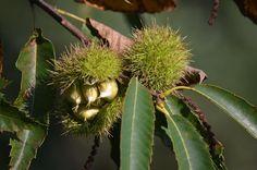 #kastanien #maronen #chestnuts