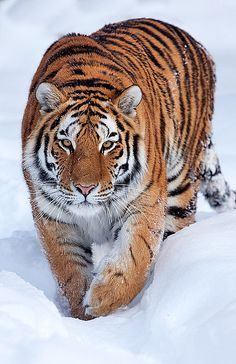 Siberian Tiger (largest of all the tigers & they LOVE winter weather) (if you shave the fur off a tiger, their skin is striped too)