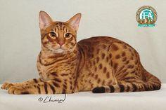 Ocicat, beautiful coat of spots