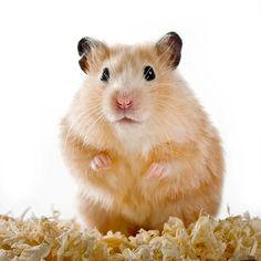 Hamster - ein beliebtes Haustier