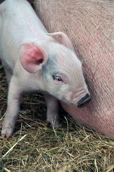Baby Piglet by JanetGrima, via Flickr