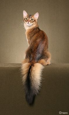 I could never leave your tail alone...  Purrfect  Ruddy Somalis