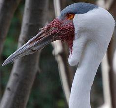 Wattled Crane (Bugeranus caruncalatus)
