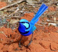 Breezing bluebird
