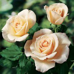 French Lace™ Floribunda Rose