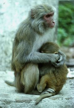 Sacred monkeys at a Hindu Temple along the Bagmati River in Kathmandu Nepal. Taken by Frank Logue.