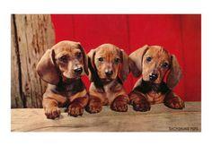 Dachshund puppies!