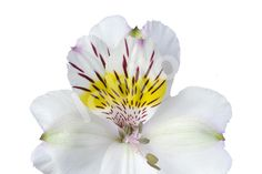 Alstroemeria-Artica-9 bunches from Lobiloo