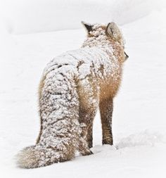 Images by © Cathy Gauthier Knowing that a storm is upon us, this fox drops his head as the wind starts to pick up. He's healthy and has a beautifully thick coat. He can deal with the storm … it is what it is.