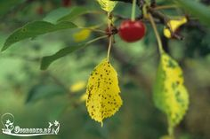 Коккомикоз вишни – срочно спасайте дерево! Возбудитель, причина появления, а также лечение народными средствами, препараты против…