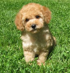 TOY POODLE PUPPY FROM LACHICPATTE.COM                                                                                                                                                                                 More