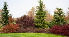 Shrub border left to right: Mariesii doublefile viburnum, Diablo ninebark, creeping cotoneaster in front, red barberry; trees in back are Serbian spruces