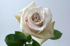 """""""Sandy"""" rose   #xactproducts #colorful #style #instaflowes #flowerporn #flowerstagram #flowersofinstagram #floristsofinstagram #floristry #florist #flowershop #ihavethisthingwithflowers #floristlife #eventflowers #seasonalflowers #floraldesigner Seasonal Flowers, All Flowers, Floral Design, Fragrance, Roses, Colorful, Create, Sweet, Plants"""