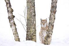 De bonnes nouvelles pour les lynx du Jura Durant trois mois, vingt-six pièges photographiques ont capturé chaque mouvement animal dans les forêts du haut Jura. Après dépouillement, l'analyse des images a montré la présence de cinq lynx dif...