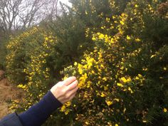 Picking Gorse flowers January 2017 for Dyeing Now: Ethel Mairet exhibition at Ditching Museum