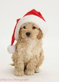 cockapoo puppies - Google Search