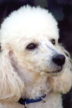 Did God create poodles? Of course, who else could make such a beautiful, lovable creature?!   Cher   Pinterest   Copper, Faces and Dr. Who