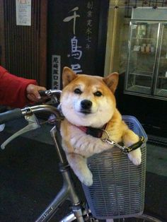 "Shiba Inu. ""Let's Go Shopping. You better buy me treats!"""