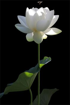 ☆ White Lotus Flower :¦: By Bahman Farzad ☆