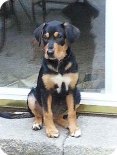 Marlton, NJ - Labrador Retriever/Rottweiler Mix. Meet Baby Allie, a puppy for adoption. http://www.adoptapet.com/pet/11451215-marlton-new-jersey-labrador-retriever-mix