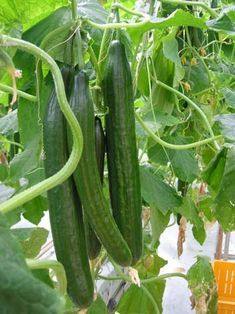 Container Gardening Vegetables, Vegetable Garden, Trees To Plant, Cucumber, Seeds, Landscape, Flowers, Outdoor, Parks