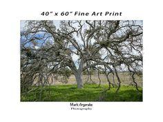Tree Photo 40x60 Fine Art Print from Sylvan Meadows at the Santa Rosa Plateau Ecological Preserve in Murrieta California, Nature Photography
