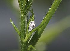 Citrus Tree Problems – Pests and Diseases   Mealy bug   Aphids   Organic   Growth Natural : Landscapedesign.co.nz