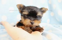 Browse tiny Teacup, Micro Teacup and Toy Yorkshire Terrier puppies for sale. Browse to find the tiniest and cutest Yorkie puppies for sale in South Florida area Mini Yorkie, Teacup Yorkie For Sale, Yorkies For Sale, Yorkie Puppy For Sale, Yorkie Puppies, Yorkshire Terrier For Sale, Yorkshire Terrier Haircut, Tea Cups, Puppys