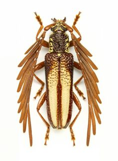 Feather Horned Longicorn Beetle, Piesarthrius marginellus