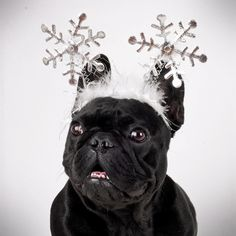 Snowflake Frenchie!  I love this pic!